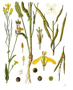 Rapeseed:   an excellent carrier oil, rapeseed is light but leaves the skin feeling hydrated.    ewg = 1