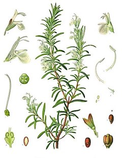 Rosemary :  Uplifting rosemary imparts joy, while also fighting acne and many skin conditions. It promotes healthy circulation, and is often used in natural hair regrowth treatments. It is also excellent for depuffing and reducing edema.    ewg = 1