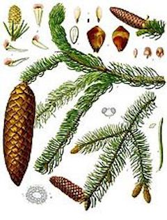 Spruce :  Clearing and uplifting, spruce is used to relax the mind and muscles, while also supporting healthy endocrine function.    ewg = 1