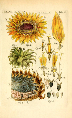 Sunflower seed oil :  A great source of vitamin E, sunflower seed oil makes a wonderful carrier oil.    ewg = 1
