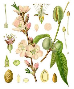 Sweet almond :  An effective carrier oil and deeply moisturizing addition to lotion, creme, and soap.    ewg = 1
