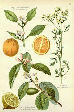 Sweet orange :  Clarifying, anti-inflammatory, disinfecting, and mood-lifting.    ewg = 1