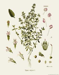 Thyme :  Increases blood flow, detoxifying, anti-inflammatory, antibacterial, and a natural insect repellent.    ewg = 1