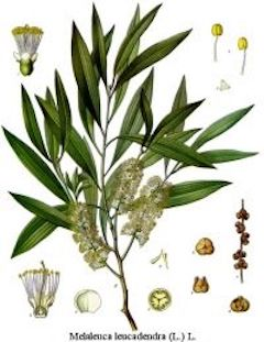 Tea tree :  Antiseptic, antimicrobial, and antifungal, tea tree is a true multitasker. It fights infections, soothes inflammation, and even repels insects. It is the superstar of our ever-popular Tea Tree Rosemary soap, as well as many of our other products.    ewg = 1