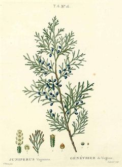 Virginian cedar :  astringent, calming, and antiseptic    ewg = 1