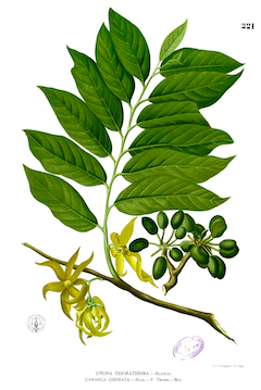 Ylang-ylang :  Known for centuries as a powerful aphrodisiac, ylang-ylang is also soothing, and calming.    ewg = 3