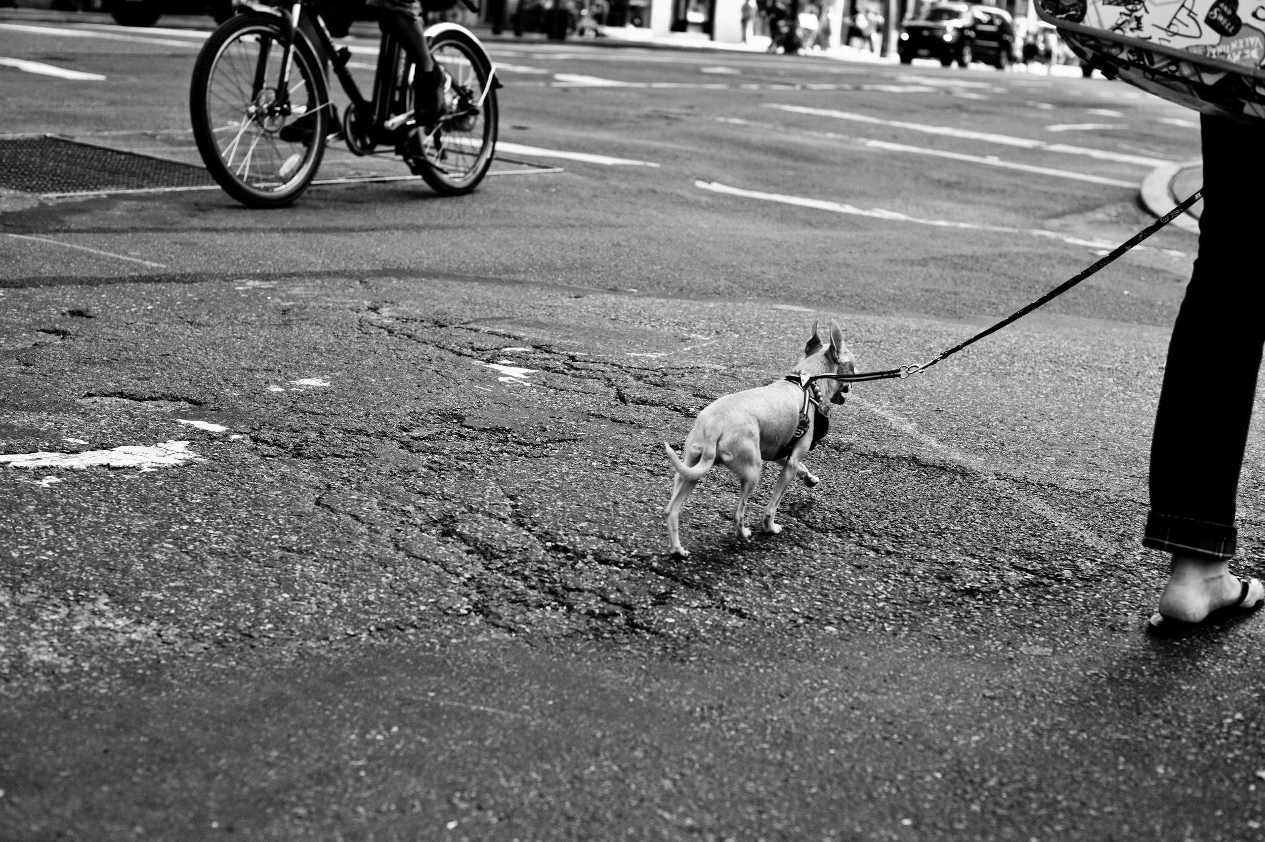 Dog Photographer Manhatten