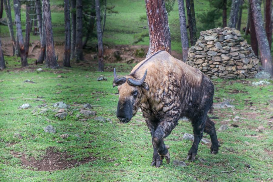 Takin - National Animal of Bhutan