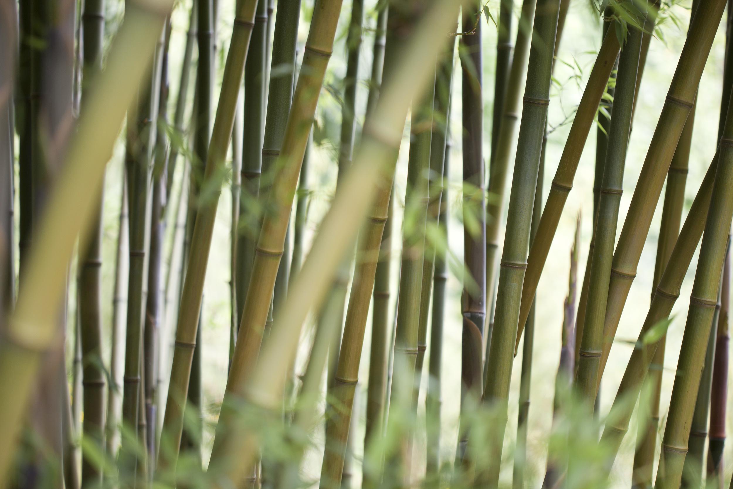 bamboo-grove.jpg