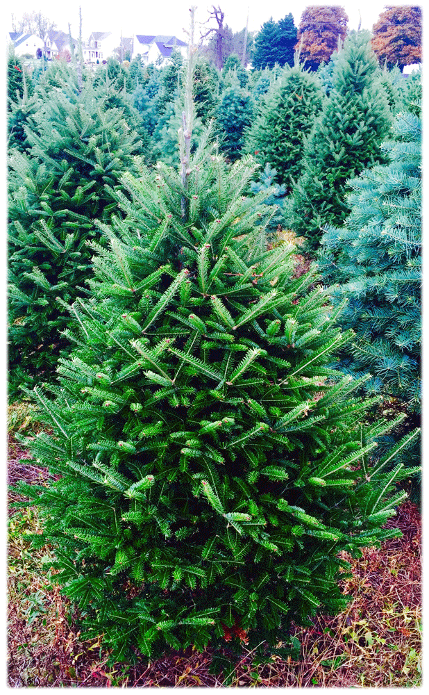 small balsam fir