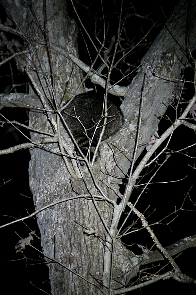 A raccoon hides in a tree after being chased into by the plott hounds.