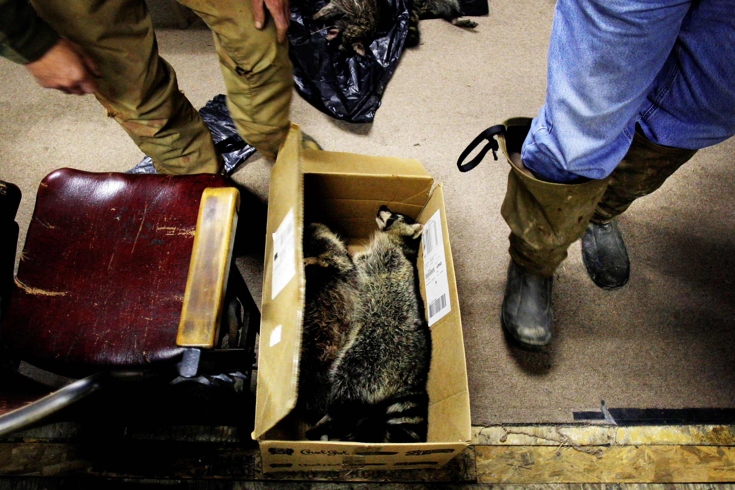 Dead raccoons sit in a box awaiting skinning at the Glouster Coon Hunting Club.