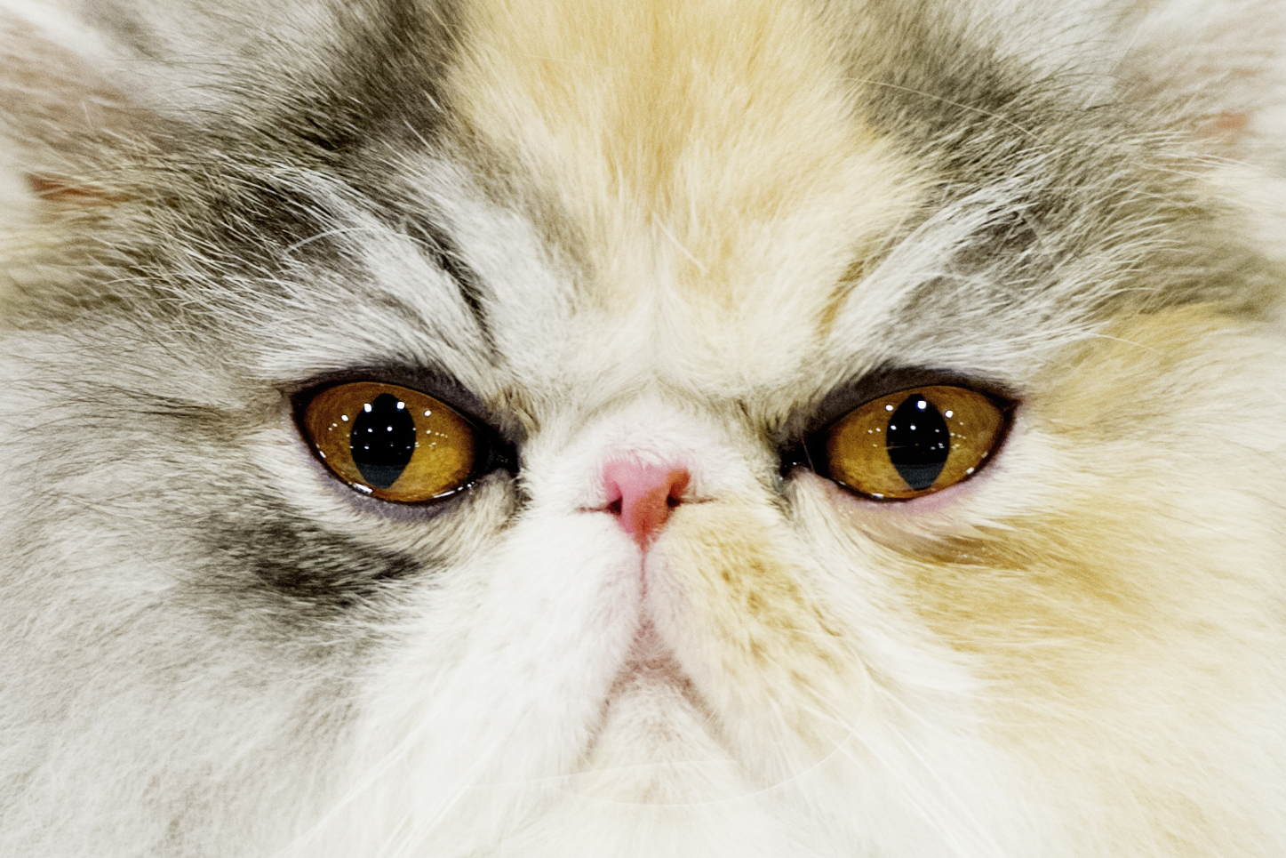 Jellybean, a female 10-month-old Persian silver patched tabby with white cat sits at the 40th annual Cat Fanciers cat show at Jacob Building in Knoxville. The show featured almost 200 cats of 40 different breeds.