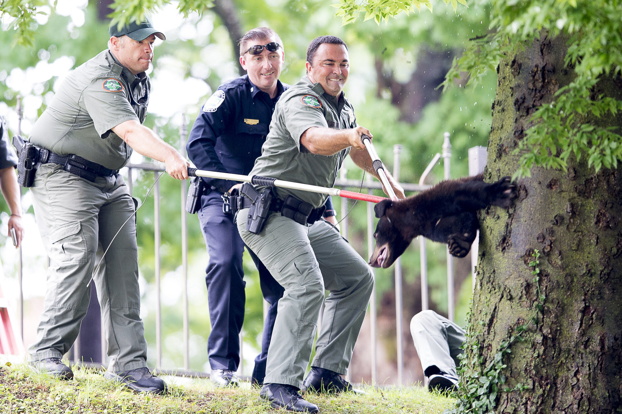 TWRA Sergeant Roy Smith, right, Knoxville Police officer Michael Cooper, and Clint Smith pull a small yearling black bear with catch pole from a tree after it was tranquilized at Morningside Park in Knoxville. The 100-pound yearling black bear was most likely displaced by its mother and wandered into the city in search for food, said a TWRA Sergeant Roy Smith.
