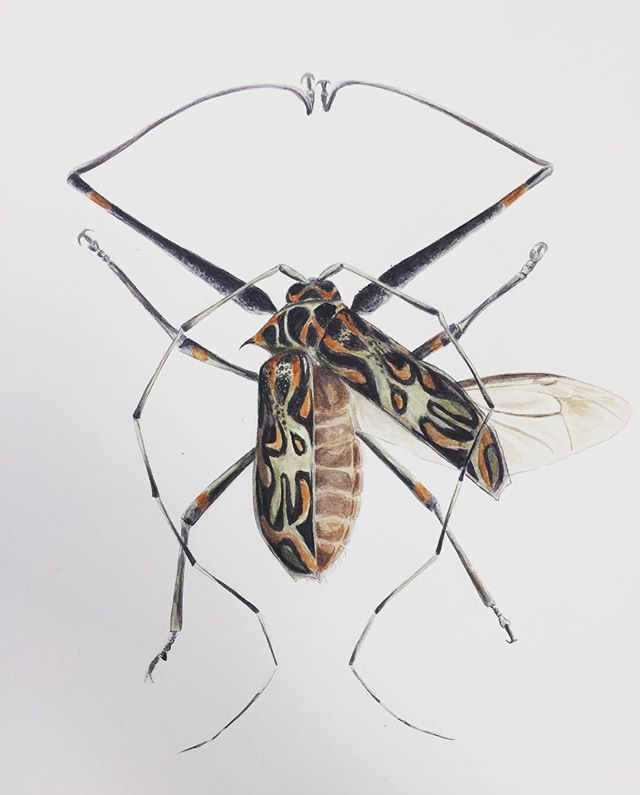 Harlequin Beetle  #scientificillustration #scienceillustration #watercolor #entomology #harlequinbeetle