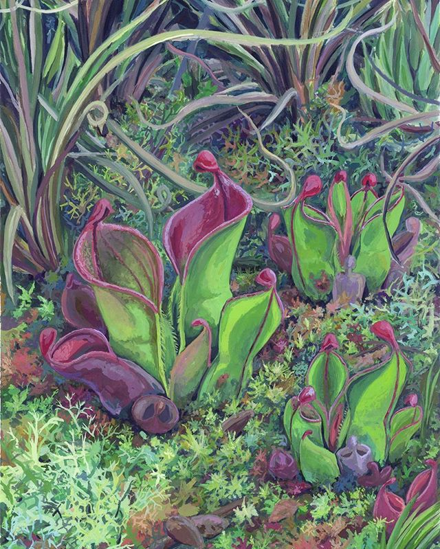 Heliamphora minor  Here is a painting from a few months ago.  #gouache #gouachepainting #illustration #carnivorousplants #botanicalillustration #scientificillustration #heliamphoraminor #heliamphora