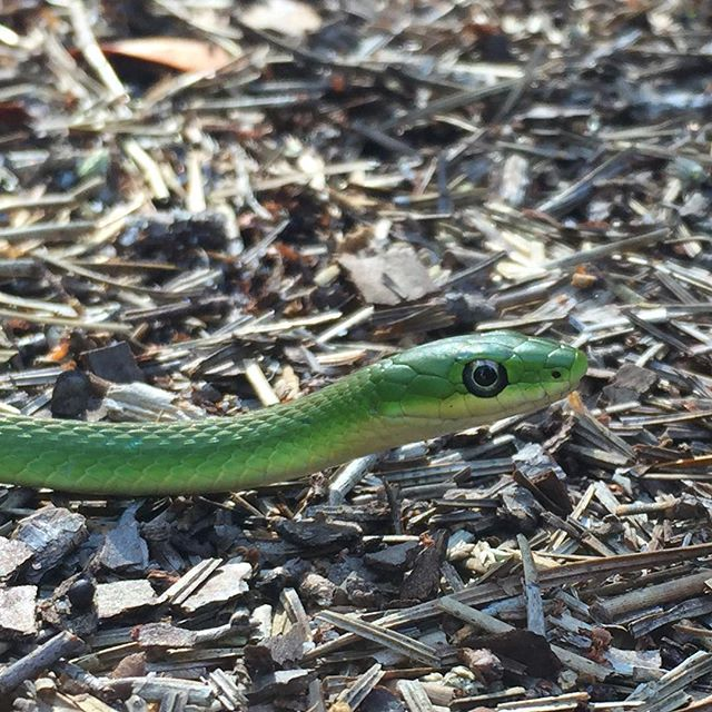 Rough Green Snake  #roughgreensnake #opheodrys #pinebarrens
