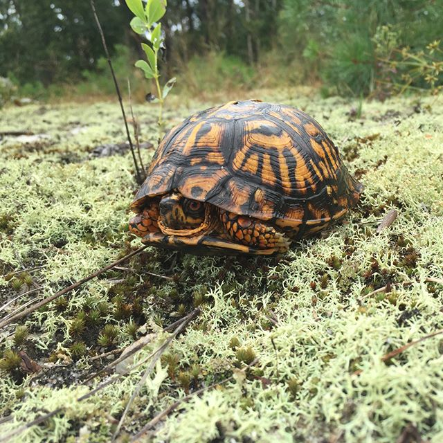 This shy guy looking fresh after the rain. Always great to encounter this species.  #easternboxturtle #pinebarrens #njpinebarrens