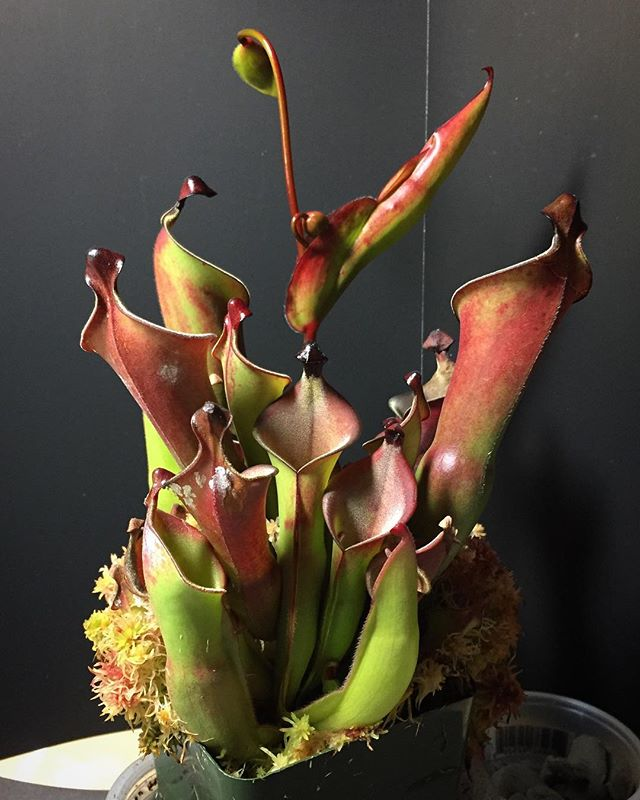 Heliamphora growing out of hand  #heliamphora #carnivorousplants #sunpitcher #heliamphoraheterodoxa