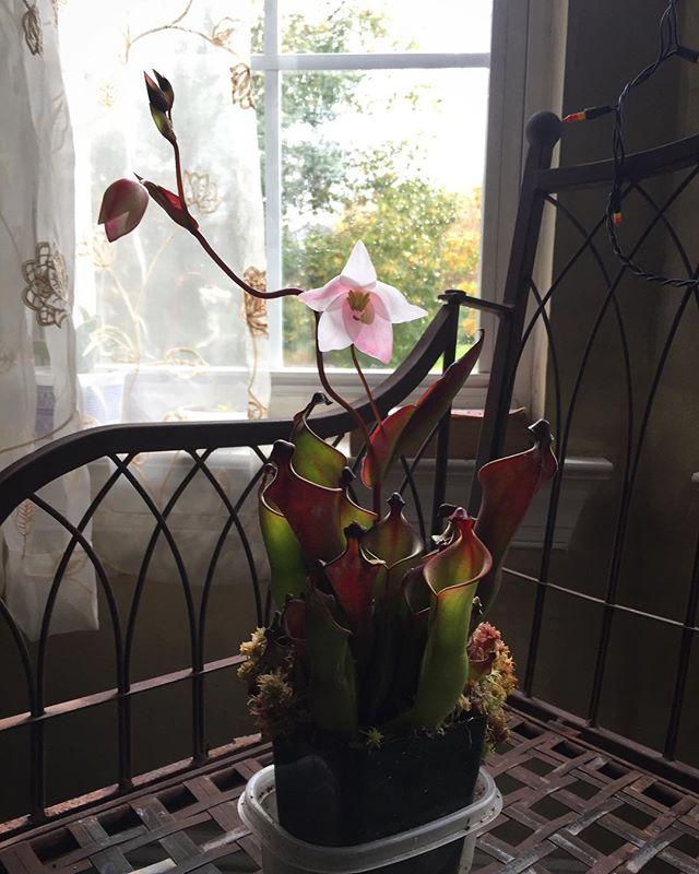 First Heliamphora flower 🤓  #heliamphoraheterodoxa #heliamphora #sunpitcher #carnivorousplant