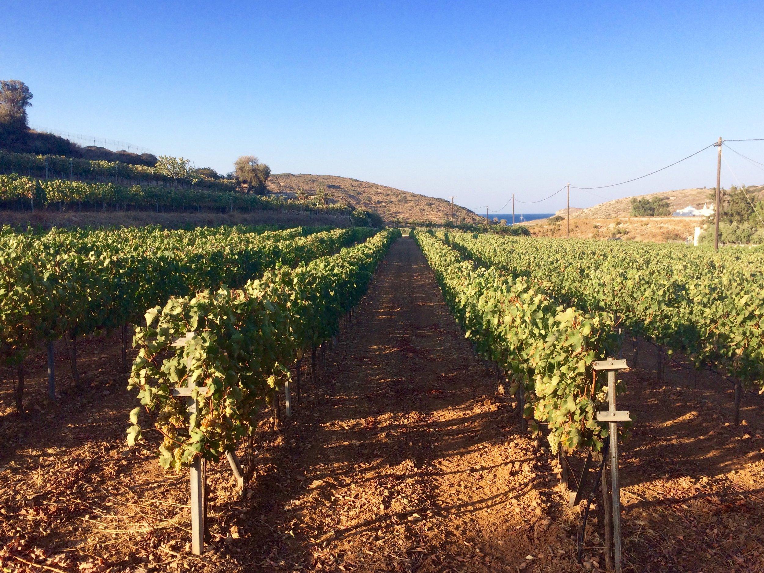 assyrtiko vines.jpg