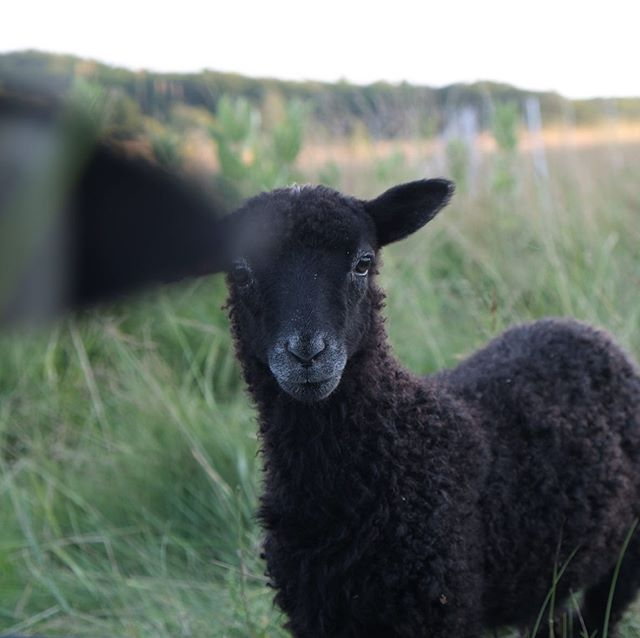 The ewes don't like the lambs getting all the attention. #photobomb #gotlandsheep #gotlandsfår #gotlandsheepinmaine #maine #shepherd #shepherdess #familyflock