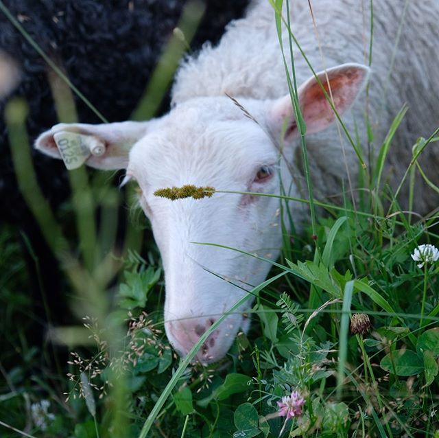 Looking for that perfect clover leaf. #finnsheep #lamb #maine #mainesummer #familyflock #shepherd #shepherdess