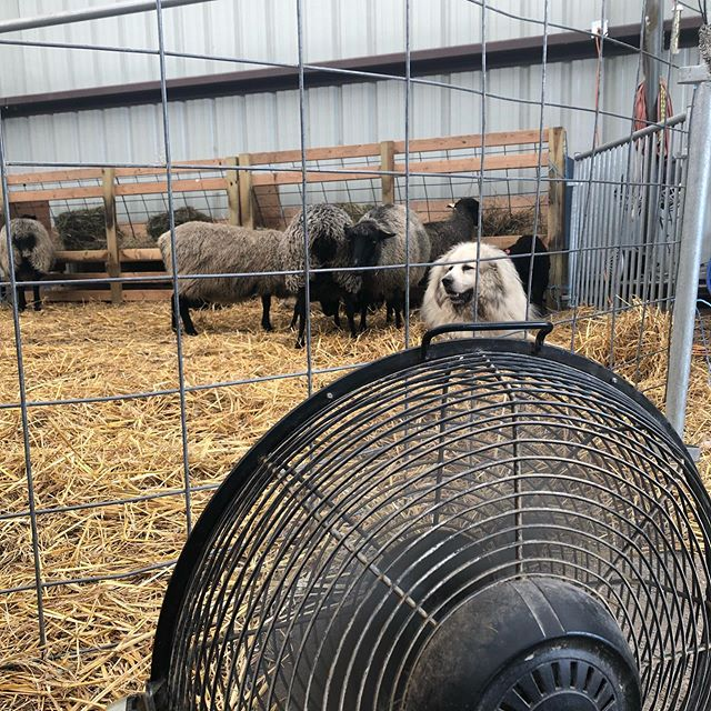 Everybody's glad for a day in front of the fans. August and April are my least favorite months, and I think the animals feel the same way. We're all ready for a change in the weather. The kids have already pulled their sleds out. #canttaketheheat