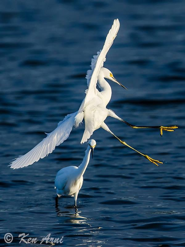 egret pair.JPG