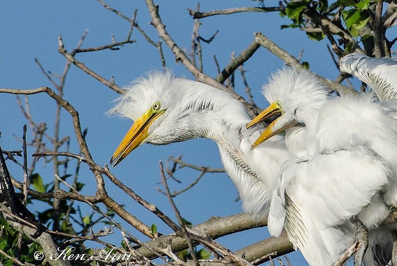 egret chicks.JPG