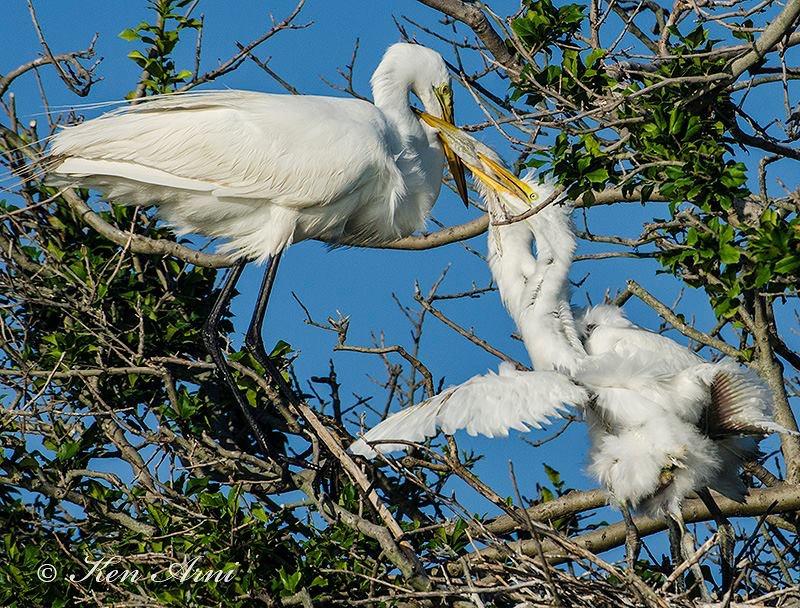 egret feeding.JPG