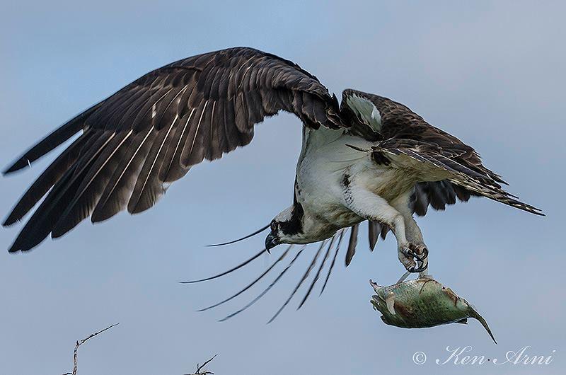 osprey w: fish.JPG