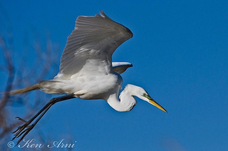 Flying egret.JPG