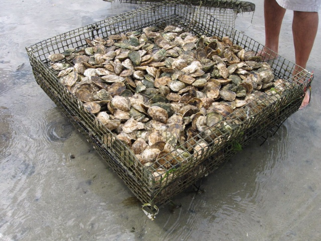 oysters in cage.JPG