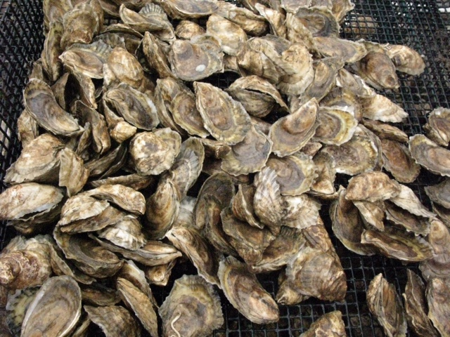 Oyster pile.JPG