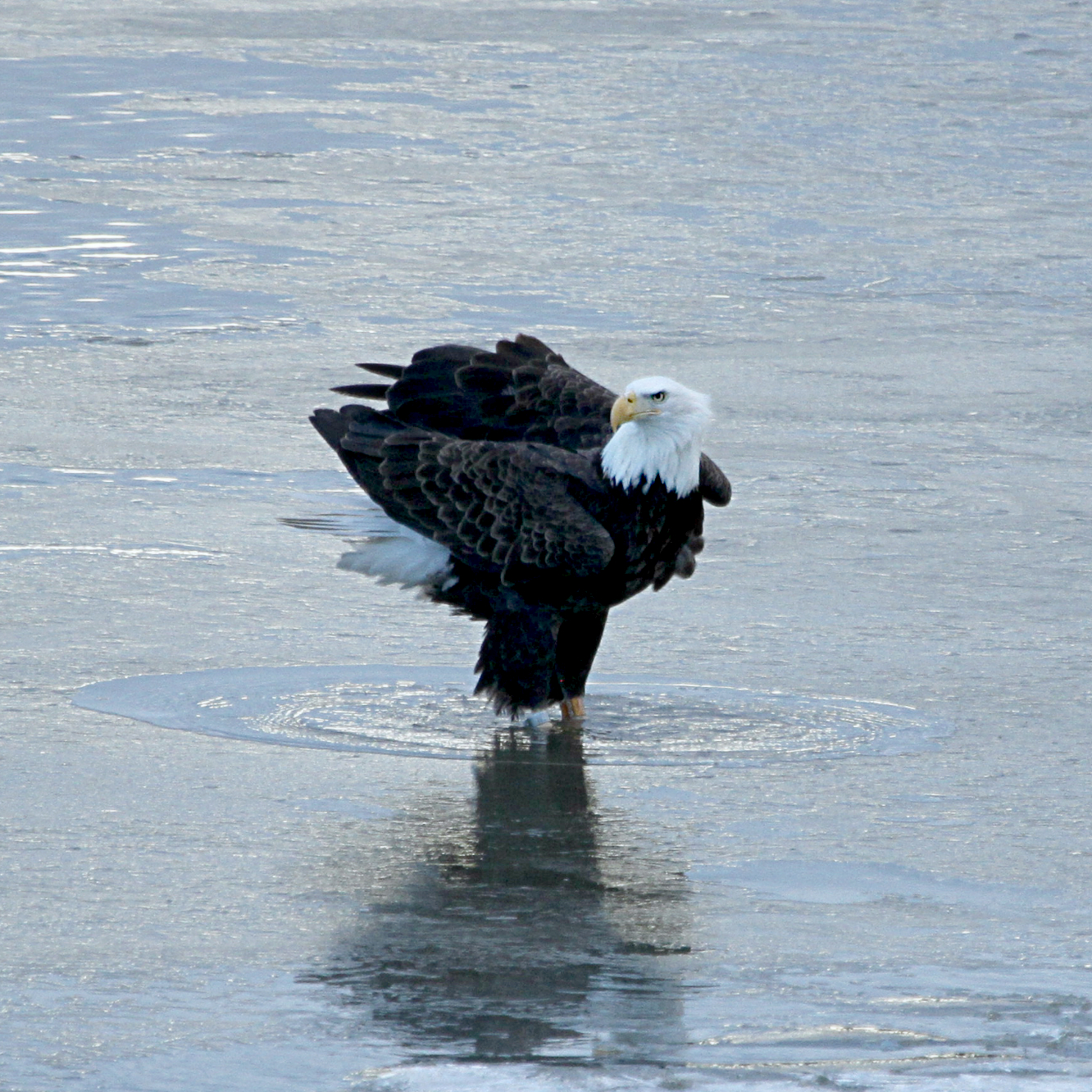 Eagle January 2015 north cove