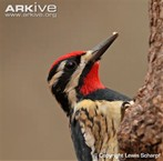 This is what a Yellow-bellied Sapsucker looks like