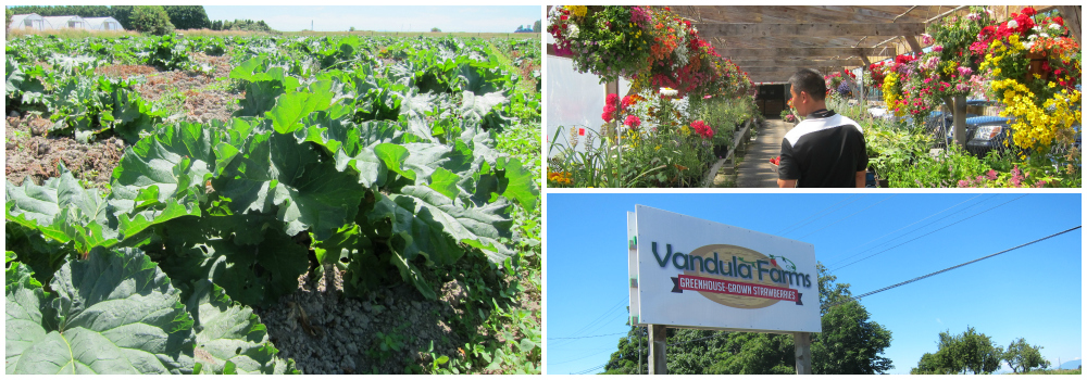 Vandula Farms' rhubarb plants and hanging flower baskets.