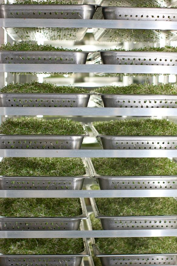 Alfalfa on racks.jpg