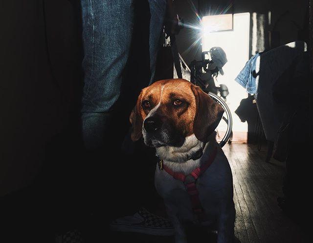 Golden hour beabull | 4.9.19 • • • #goldenhour #beabull #beabullsofinstagram #dogs #dogsofinstagram #dogsofig #dogsofinsta #beagle #bulldog #ruby #beabullruby #vsco #vscocam #iphone