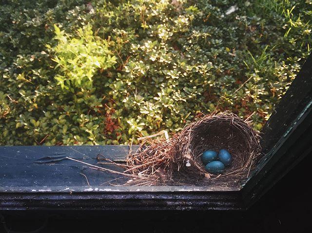 Spring | 4.28.19 • • • #spring #springtime #eggs #nest #robinseggs #robin #mamabird #vscocam #vsco #iphone