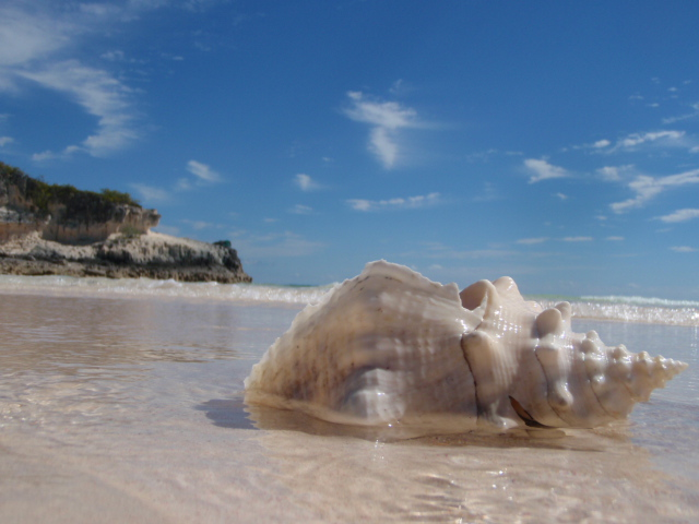 One of many beautiful conch shells found along the beaches of Eleuthera
