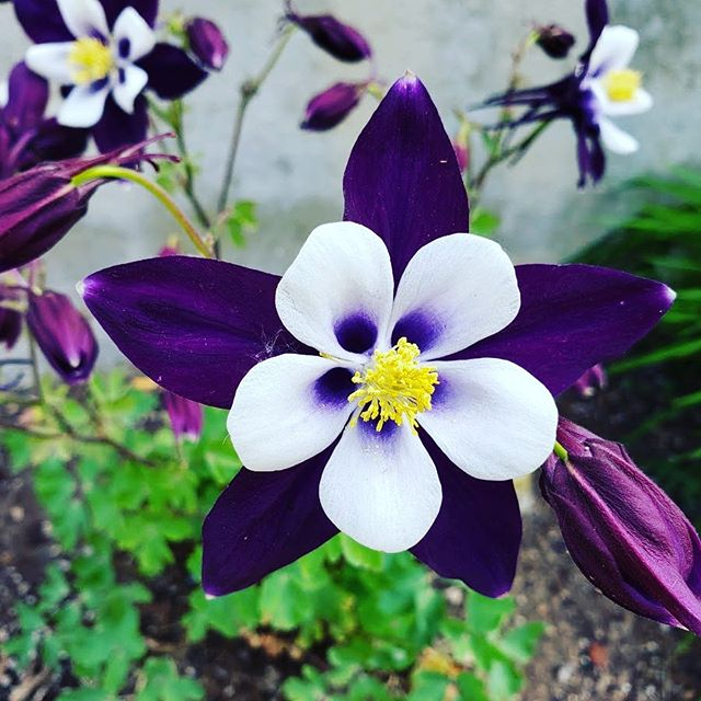 This is my favorite flower. The Columbine is beautiful and capable of surviving the most rugged terrain.  #columbineflower #resilient #beautiful