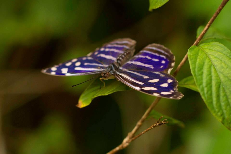 Tropical Blue Wave butterfly (Myscelia cyaniris)