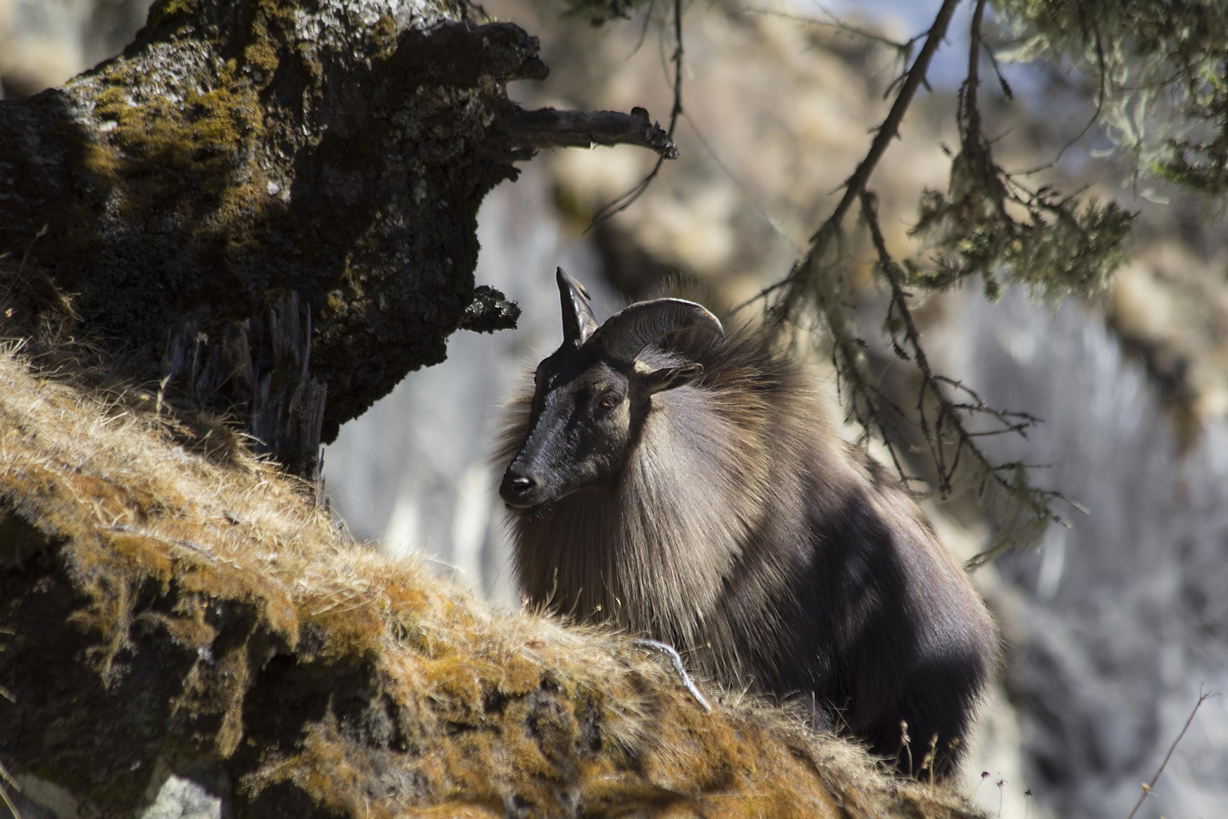 Mountaingoat (Thar) in Nepal.