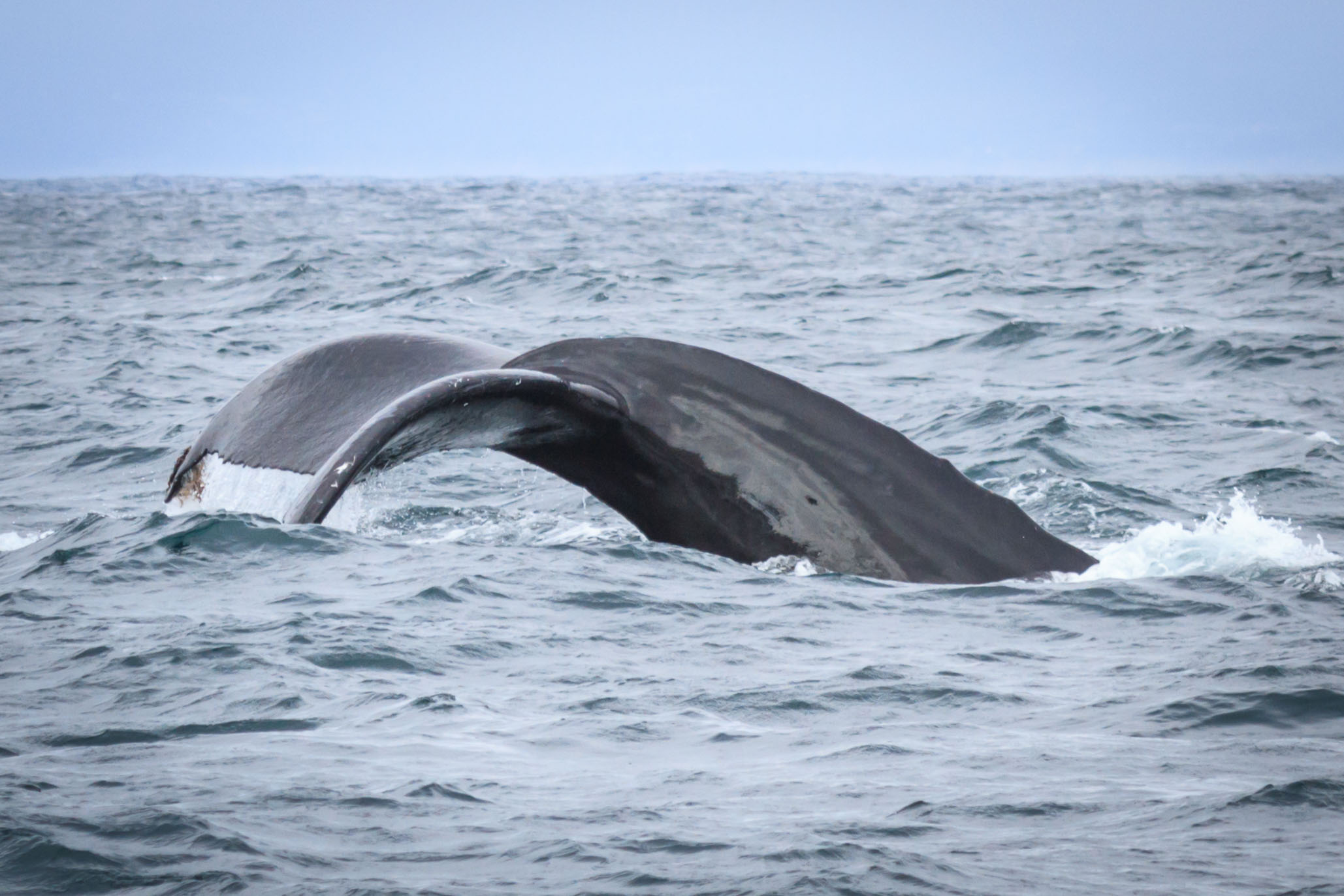 The mighty Humpback whale.