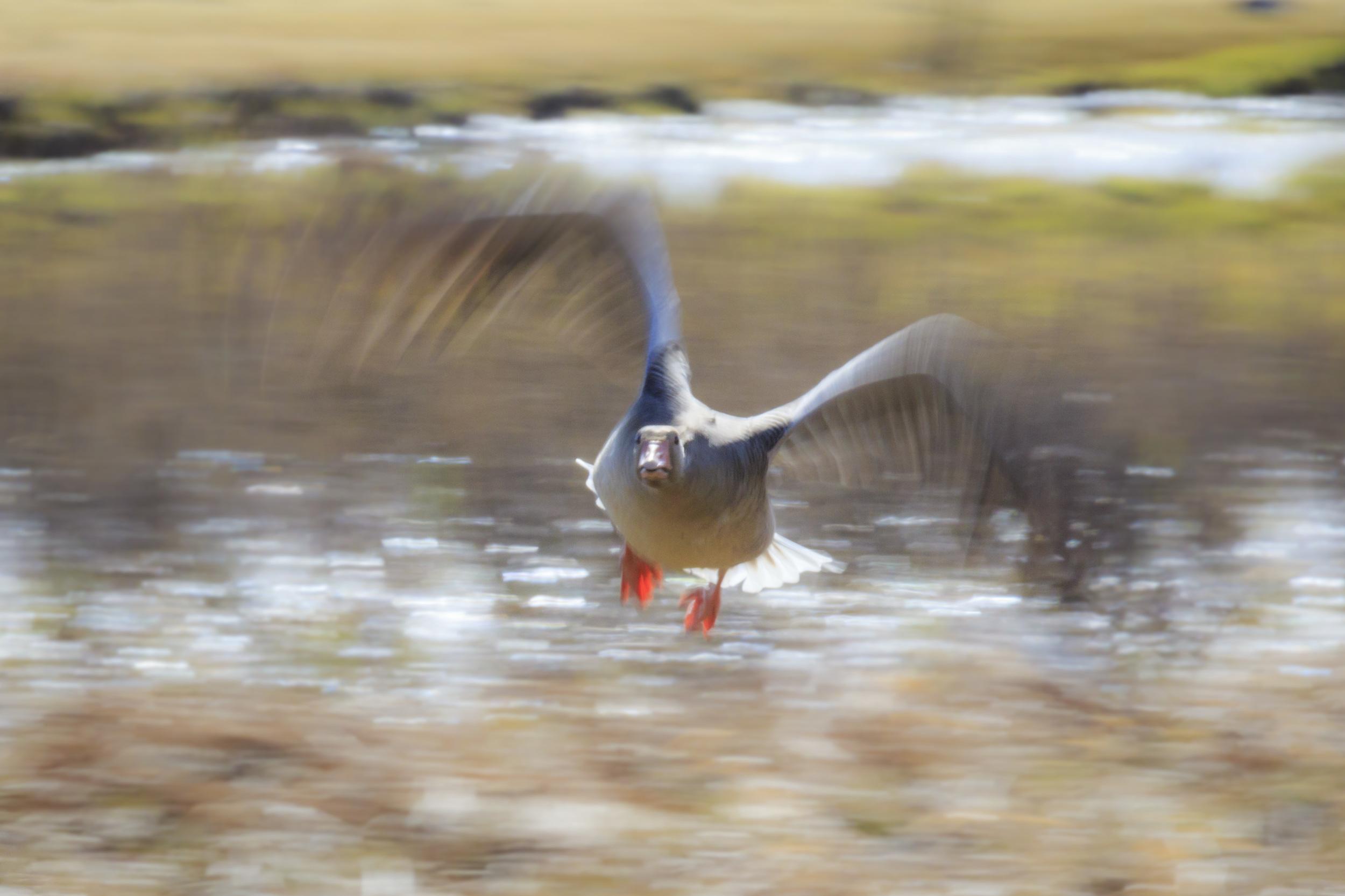 A speedy goose.