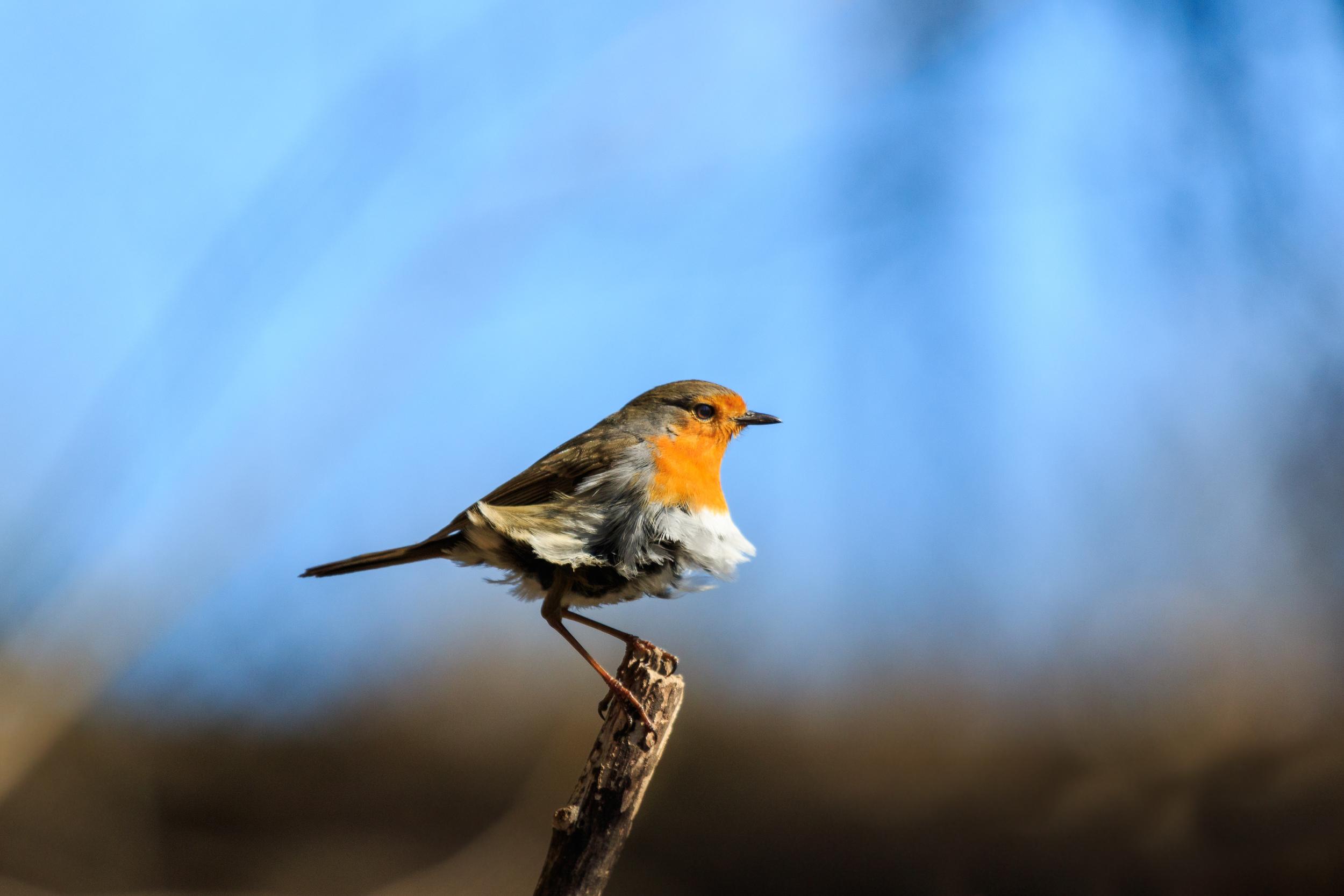 A Robin. (Rödhake)