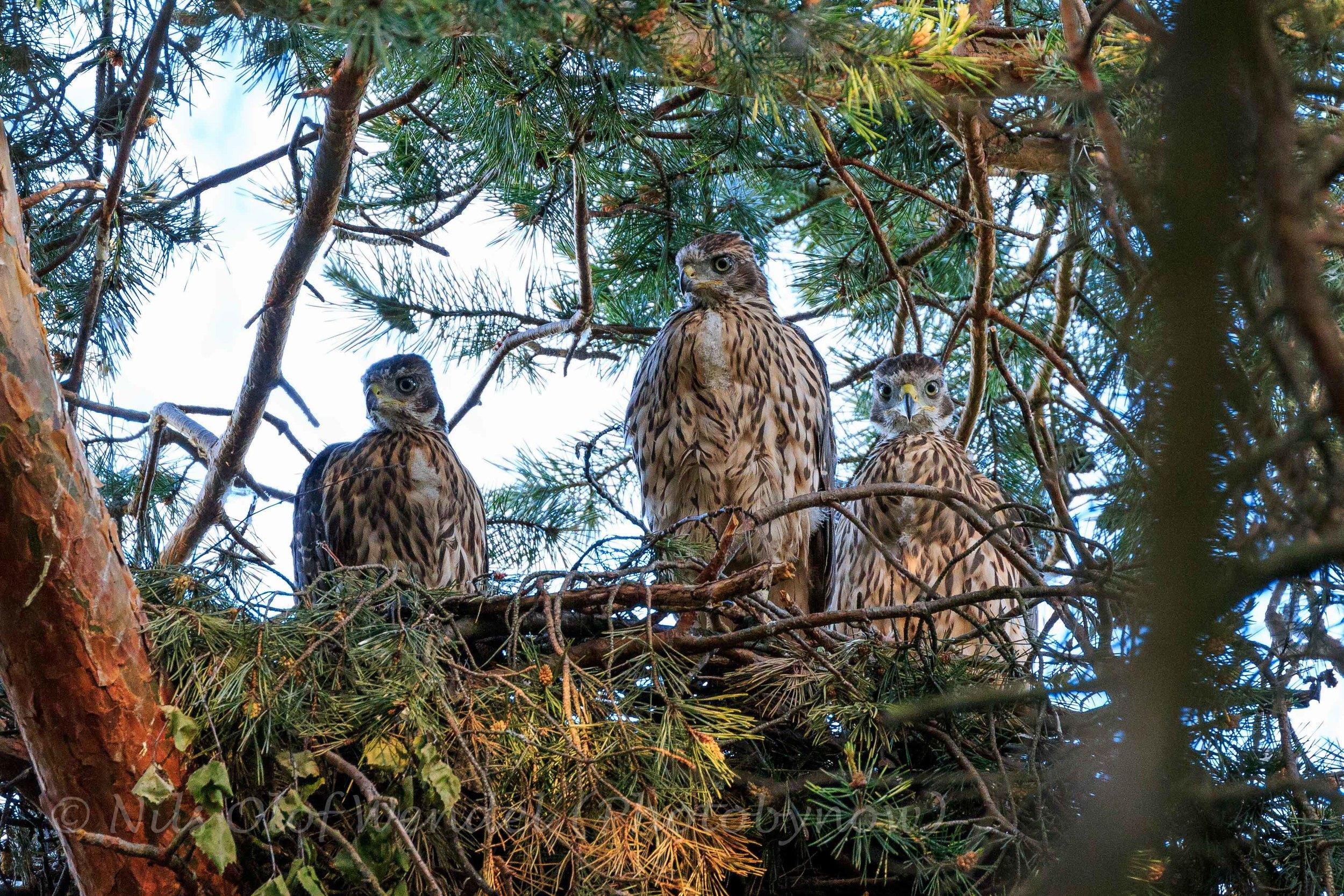 Being watched by three Goshawks.