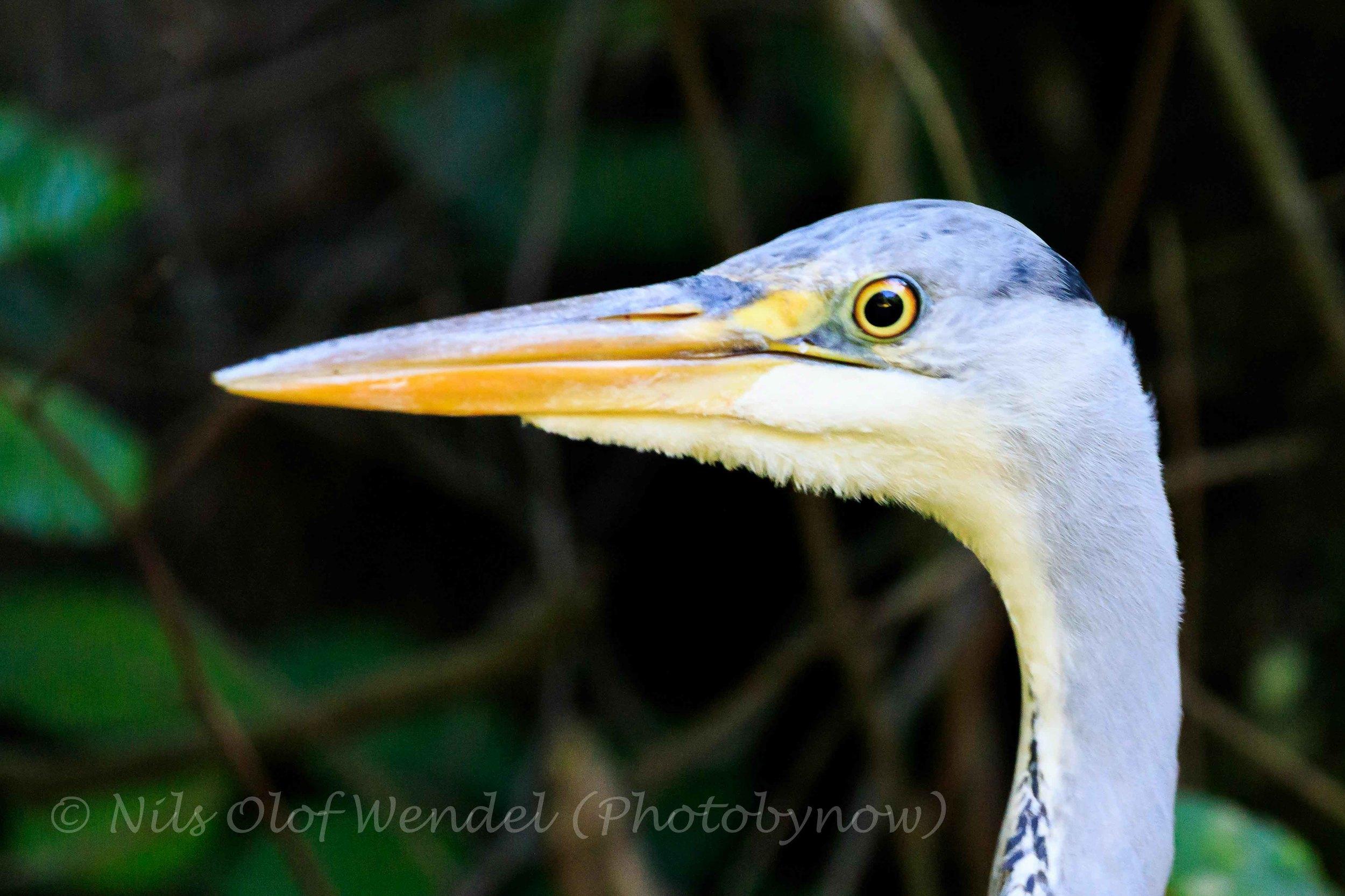 Grey Heron. (Grå Häger)